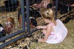 Petting baby pigs Stock Photos