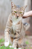 Petting the cat. Female hands petting a smiling cat outdoors  in a sunny morning Royalty Free Stock Photos