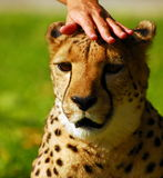 Petting a cheetah Stock Images