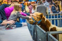 Petting de Poney Stock Afbeelding
