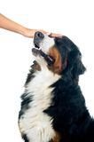 Petting the dog. Petting the bernese mountain dog. Isolated on white background Royalty Free Stock Photos