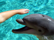 Petting a Dolphin. Closeup of a dolphin, a little girl's hand petting its head Stock Images