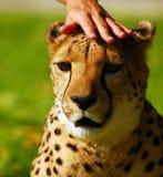 Petting einen Geparden Stockbilder