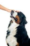Petting o cão Fotos de Stock Royalty Free