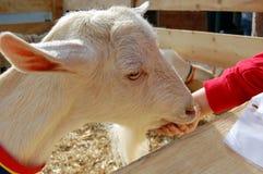 Petting zoo. Child feeding white goat at petting zoo Royalty Free Stock Photos