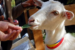 Petting zoo. Hand feeding white goat at petting zoo Stock Photography