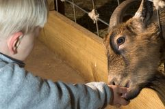 Petting zoo. Little child feeding goat at the petting zoo Royalty Free Stock Images