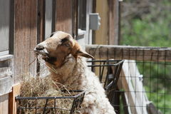 Petting Zoo Sheep Eating Straw Royalty Free Stock Photography