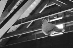 Pigeon under the roof stock photos