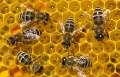 Pettini del miele con nettare, polline, miele e le api fotografie stock