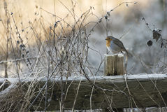 Pettirosso di inverno Fotografia Stock