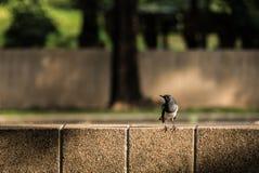 Pettirosso orientale della gazza Fotografia Stock Libera da Diritti