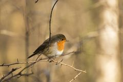 Pettirosso Robin fotografie stock libere da diritti