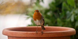 Pettirosso (Robin) Immagini Stock