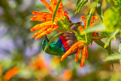 Petto rosso e blu di Sunbird, che si alimenta fiore arancio Immagini Stock