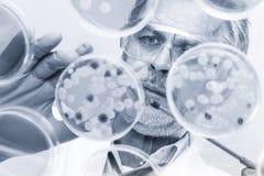 Старший исследователь наук о жизни прививая бактерии стоковое изображение