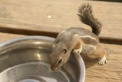Petty thief. Chipmunk's stealing water from dogs' bowl Royalty Free Stock Photography