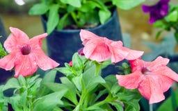 Petuni petuni x hybrida tubiaści kwiaty i kosmaty ulistnienie, jest genus w rodzinnym Solanaceae insekt, ogólny fotografia stock