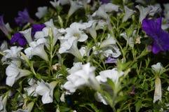Petuni hybrida w dwa kolorach Obrazy Royalty Free