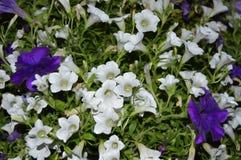 Petuni hybrida w dwa kolorach Fotografia Stock