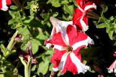 Petuni Ultra Czerwona gwiazda, petuni atkinsoniana ` Ultra Czerwona gwiazda Zdjęcia Royalty Free
