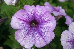 Petunia Royalty Free Stock Photos