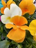 Petunia! royalty-vrije stock fotografie