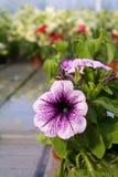 Petunia Fotografía de archivo