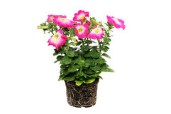 Petunia Stock Photography