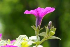 Petunia Stock Images