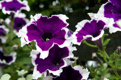 Petunia Royalty Free Stock Photo