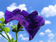 Petunia. On a background of the sky with clouds Stock Photo