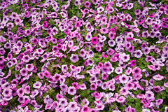 Petunia Royalty Free Stock Image