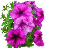 Petunia Stock Photos