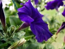 Petunia. Purple petunia closeup stock photos