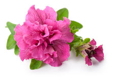 Petunia. Pink petunia flower  on white background Stock Image