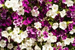 Petunia Stock Photography