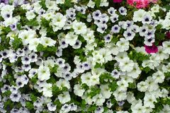 Petunia Royalty Free Stock Photos