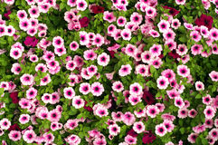 Petunia. Multicolored Petunia Hybridis flower-bed texture Royalty Free Stock Image