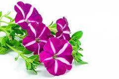 Petunia Fotografía de archivo libre de regalías