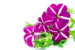 Petunia arkivfoton
