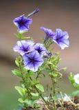 Petunia Foto de archivo libre de regalías