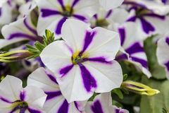 Free Petunia Royalty Free Stock Photos - 39496208