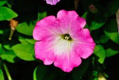 petunia Fotografering för Bildbyråer