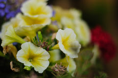 Petunia 50mm f1.4 Lens - Creative Commons by gnuckx Royalty Free Stock Photos