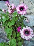 petunia Zdjęcie Royalty Free