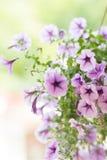 petunia Imagen de archivo