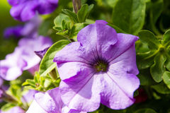 petunia Royalty-vrije Stock Afbeeldingen