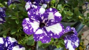 petunia Foto de archivo