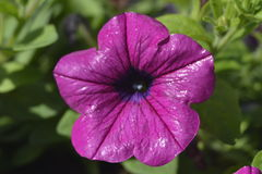 petunia Stock Afbeeldingen